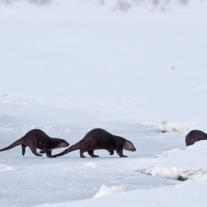 Kamchatka animals