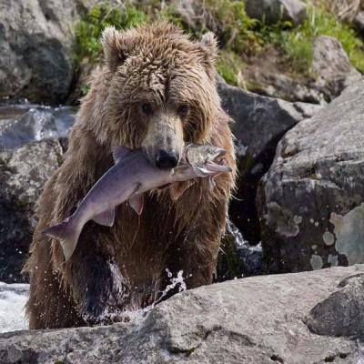 Камчатские медведи, фото