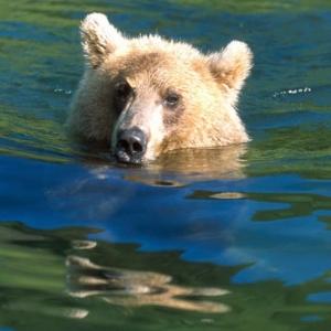 Bear fishing